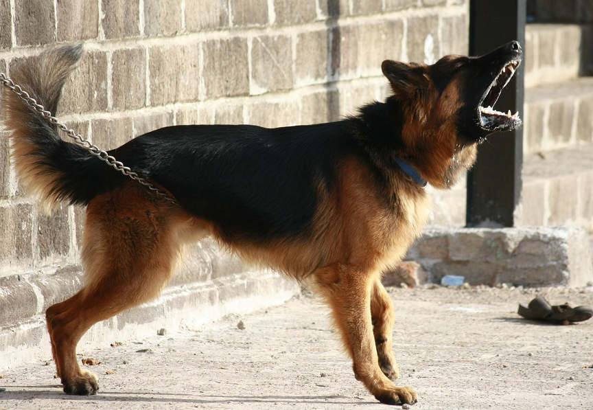 best guard dog - german shepherd